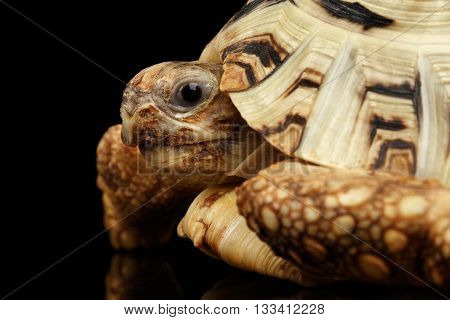 Closeup Leopard tortoise albino, Stigmochelys pardalis turtle with white shell on Isolated Black Background