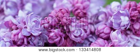 Background of red flowers of lilac. Close-up