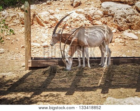JERUSALEM, ISRAEL - MAY 8: Scimitar oryx or Sahara oryx in Biblical Zoo in Jerusalem, Israel on May 8, 2016