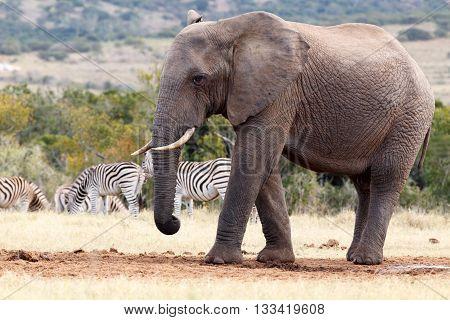 I'm A Big -  African Bush Elephant