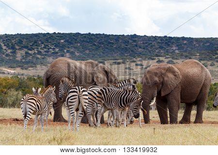 No Water - African Bush Elephant