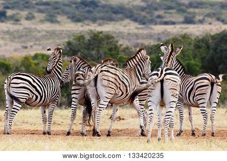 Asses - Burchell's Zebra