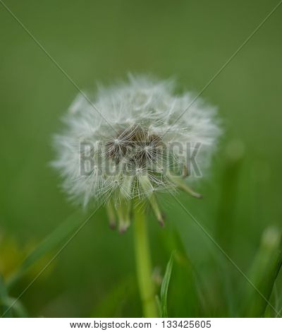Taraxacum - dandelion - differential focus of seed head