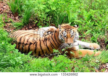 The Amur tiger lying in the grass