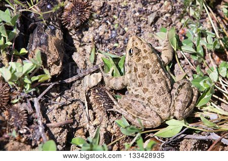 Female bulgarian toad, budo budo in the nature