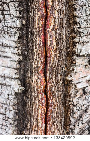 Closeup of damaged and cracked birch tree bark