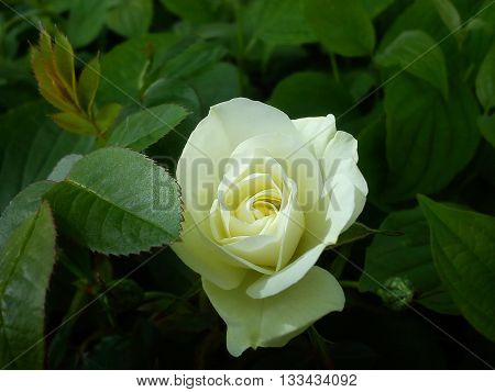 A beautiful half open cream rose standing in a sea of green leaves.