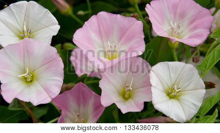 flowers, several pieces, white and pink, summer period, green leaves background, beautiful, white, pink, summer, green,
