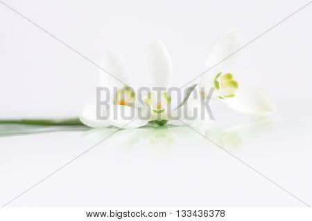 Spring snowdrop flower on white.