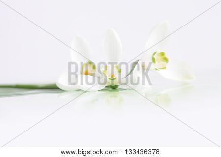 Spring snowdrop flower on white.