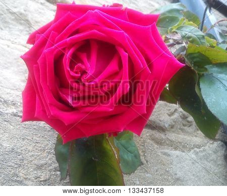 A fully open beautiful red rose smiling in the company of green leaves.