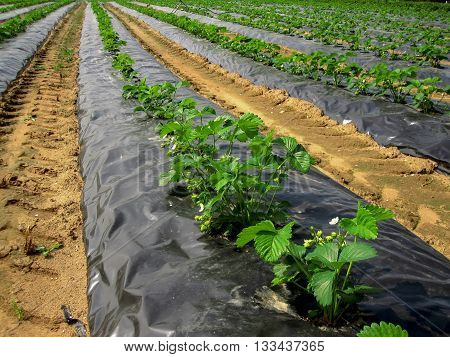 The young strawberry bushes in the beds beneath the black tape on the strawberry farm.