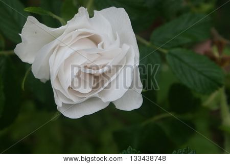 A beautiful and elegant half open white rose in the company of green leaves.