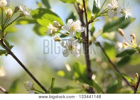 Spring cherry blossom  on green blurred background