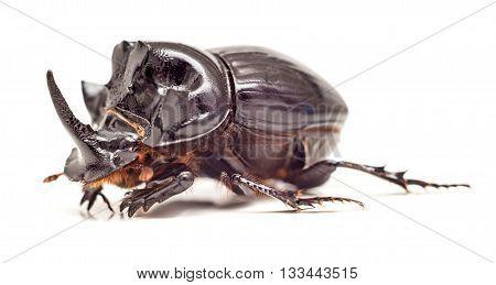 Black Rhinoceros Beetle isolated on white background. Close up. Selective focus.