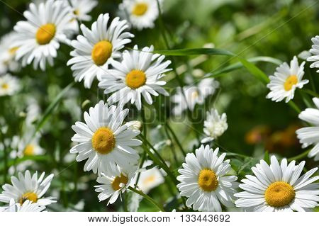 Daisies in a summer meadow. Blooming daisies against green of summer.