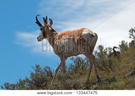 American Pronghorn Antelope walking along the ridges in the  Slough Creek area of Lamar Valley in Yellowstone National Park in the United States