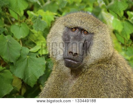 Male olive baboon closeup in Serengeti, Africa