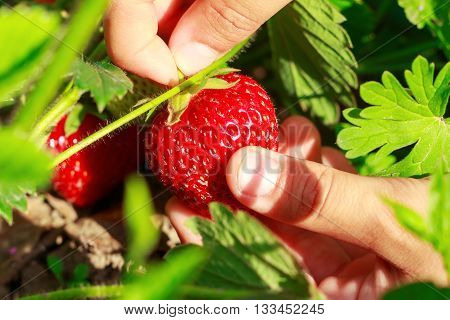 Child hand picks ripe strawberries in the garden close-up