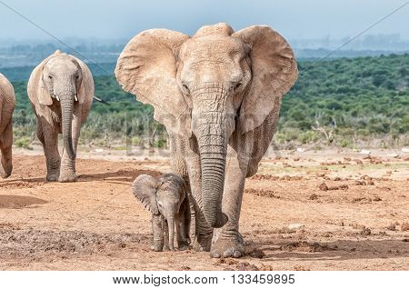 A tiny elephant calf Loxodonta africana walking next to its mother