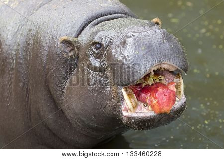 Pygmy Hippopotamus Eating Apple
