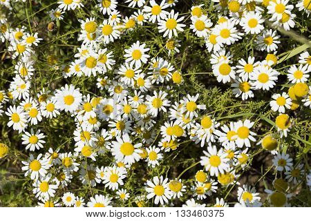 Camomile Herb In Nature