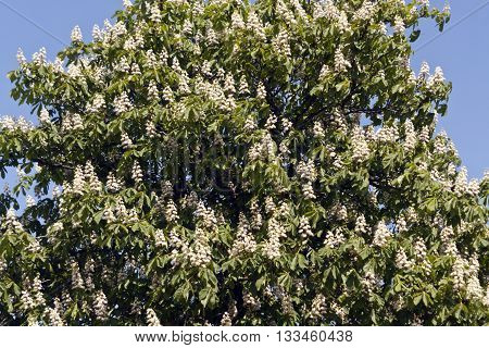 Blossoming Chestnut Tree In Spring.