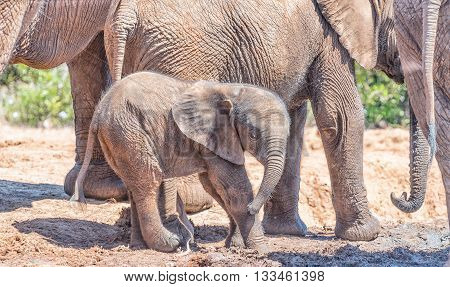 A tiny African Elephant calf Loxodonta africana surrounded by its family group