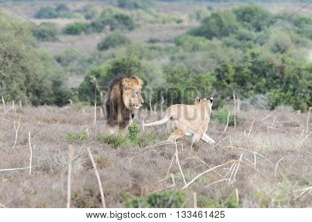 A female African Lion Panthera leo reacting aggressively to the attention of a male lion