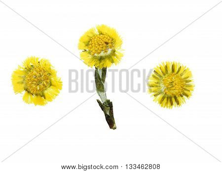 Pressed and dried flower coltsfoot (foalfoot tussilago farfara) isolated on white background. Herbarium pressed floristry (oshibana).