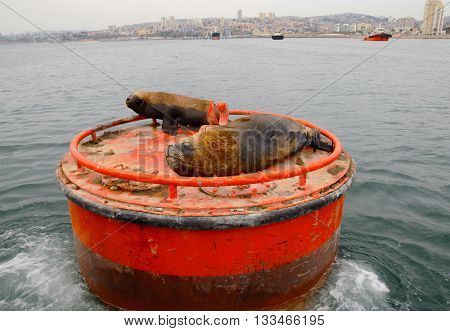Close up of a sleeping sea lion on a red buoy in the water of Valparaiso in Chile