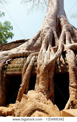 Ta prohm temple covered in tree roots Angkor Wat Cambodia. Vertical shot