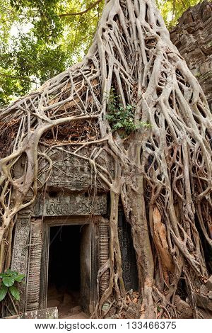 Entrance of Ta Prohm temple covered in tree roots Angkor Wat Cambodia. Vertical view