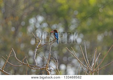 White-Throated Kingfisher in Kanha National Park in India