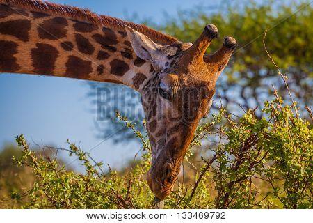 African Giraffa