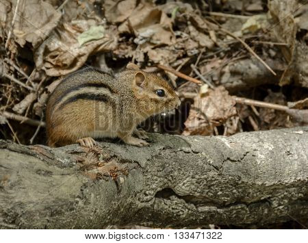 An Eastern Chipmunk, Tamias striatus, sitting on a fallen tree limb