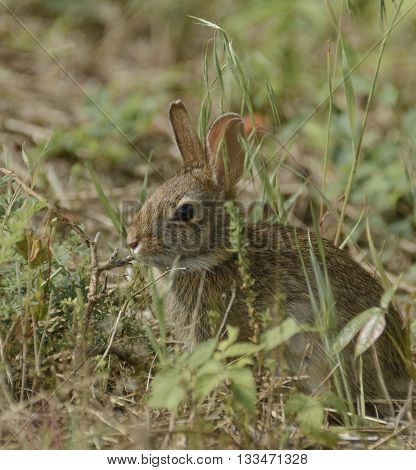 A juvenile Eastern Cottontail Rabbit, Sylvilagus floridanus, eating grasses