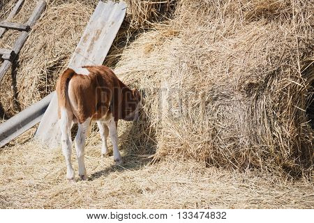 a young brown calf eats hay head buried in the haystack in the village in the summer