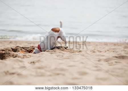 Small Jack Russell Terrier Puppy Playing On Beach In Sand