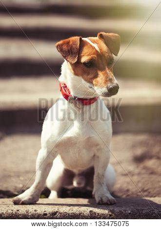 Jack Russell Terrier Sitting On The Stairs Alone