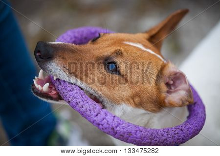 Little Jack Russell puppy playing with toy outdoors. Cute small domestic dog good friend for a family and kids. Friendly and playful canine breed