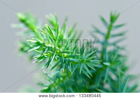 green-blue conifer plant macro shot natural background
