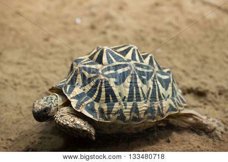Common spider tortoise (Pyxis arachnoides arachnoides). Wildlife animal.