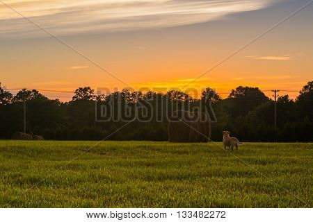 Missouri hay field at sunset with a dog in field