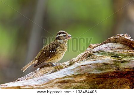 Rose-breasted Grosbeak female, perched on a log deep in a Boreal Forest in northern Quebec, Canada.