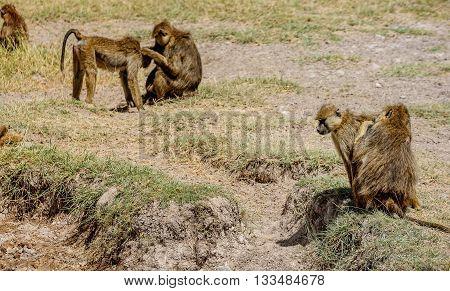 Olive Baboon monkey in Masai Mara Game resort in Kenya Africa
