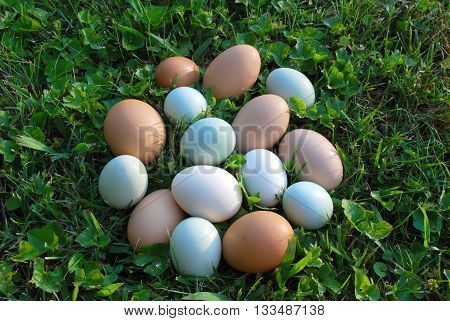 Recently gathered eggs on the summer lawn