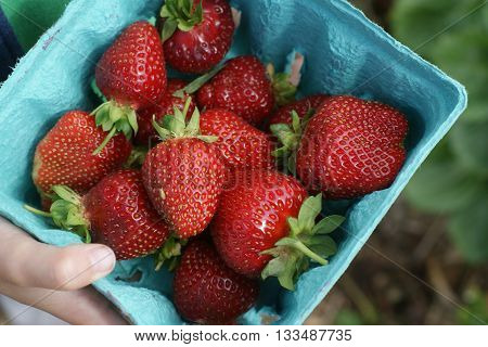 A basket of fresh picked strawberries during strawberry season.
