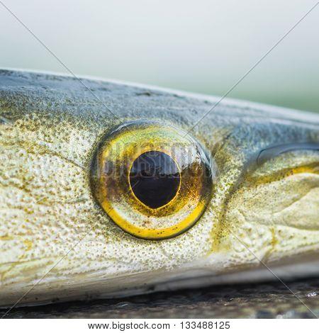Macro close up of a Gar fish eye