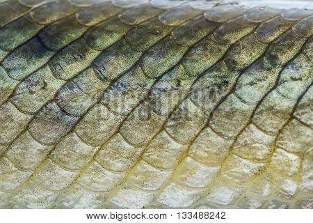 Macro close up of gar fish scales